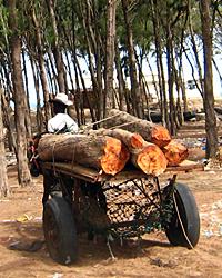 Lutte contre les inégalités face à la ressource bois sur la bande de Filao de la côte Ouest du Sénégal